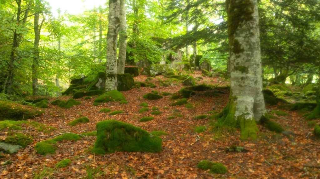 Forêt de hêtre reponsant sur son tapis de feuilles mortes aux tonx bruns-roux réhaussé du vert claquant des mousses recouvrant les rochers.